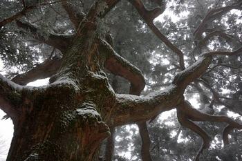 紫峰の杉<2月撮影>