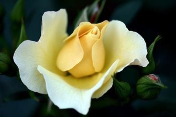 薔薇(ゴールドバニー)