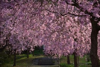 仏生寺しだれ桜