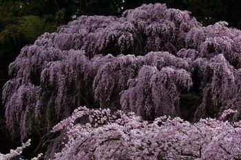 「福聚寺」シダレ桜