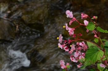 スイカの色に咲く