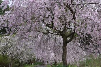 仏生寺枝垂桜