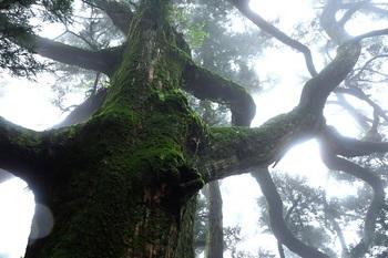 紫峰の杉(10月撮影)