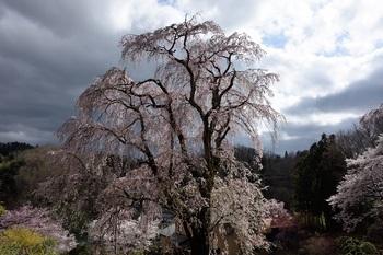 城址公園のしだれ桜